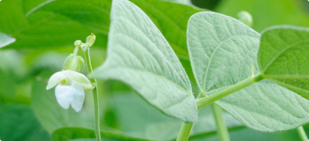 Green beans have white flowers