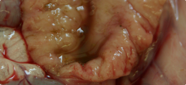 Section of intestine from a sheep infected with OJD, showing resulting thickening