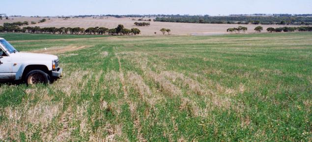 Paddock of dryland lucerne