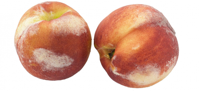 Silvering damage on nectarines