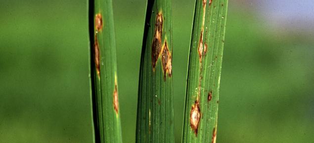 Rice blast symptoms on leaves