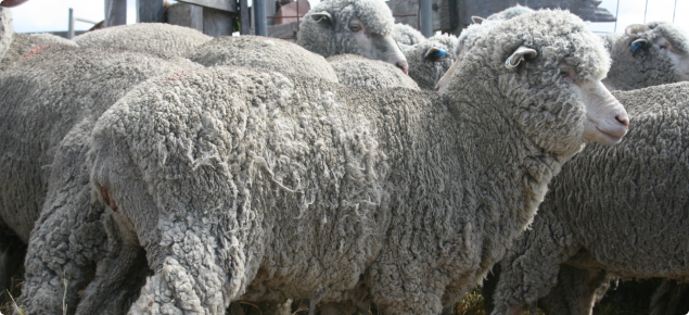 A mob of sheep has been yarded with the closest sheep having visible areas of pulled wool over the entire fleece but very apparent in the flank area.