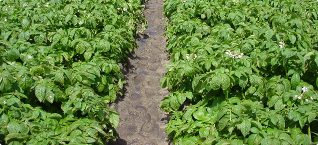 Potato crop being grown on the sandy soils of the Swan Coastal Plain