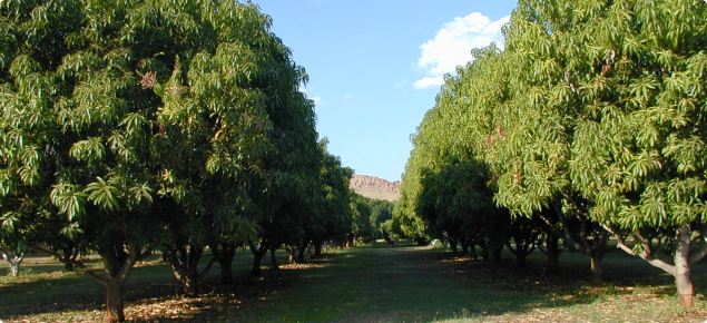 Organically managed mango plantation in the ORIA.