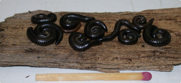Portuguese millipedes on a pievce of bark compared to a match for size