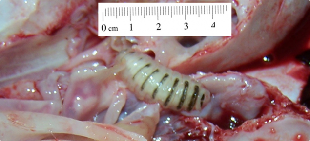 A nasal bot with a size of 4cm.