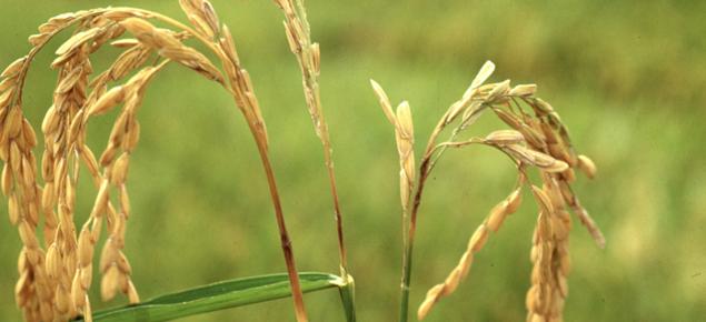 Rice blast symptoms on neck