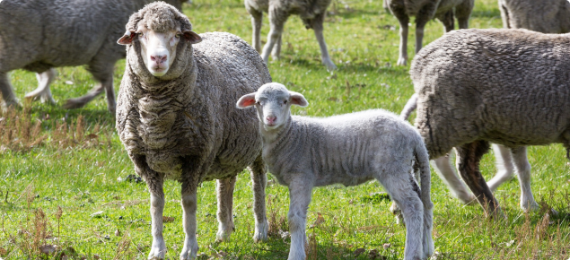 The Department of Agriculture and Food is promoting key methods to sustainably rebuild the flock at the Regional Sheep Updates.