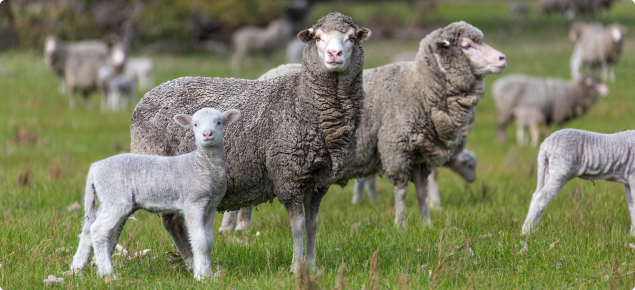A new Department of Agriculture and Food lamb survival project, and a ramped up 100%+ Club, will provide recognition and support for sheep producers wanting to lift their outputs.