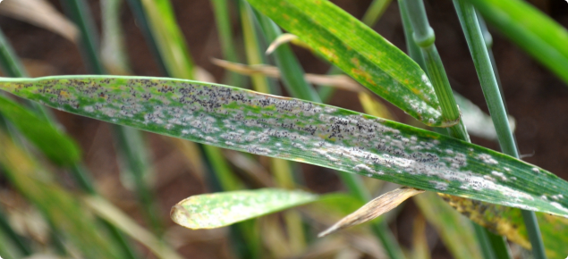 Powdery mildew infection on a wheat leaf