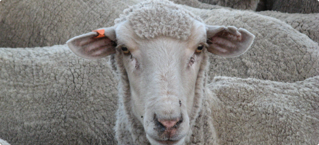 A merino ewe identified with an orange year of birth tag in her right ear and an earmark in her left ear.
