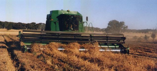 Harvesting peas on raised beds