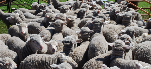 Conducting an on-farm ram source comparison | Agriculture