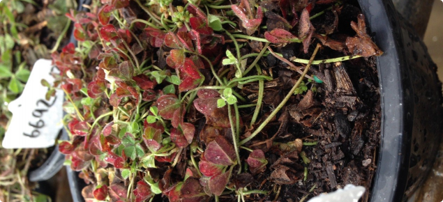 Figure 1. Subterranean clover plant SbDV-infected with red leaves.  Reddening is from the leaf margins inwards.