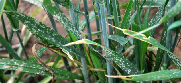 Powdery mildew appears as fluffy white growth on wheat leaves