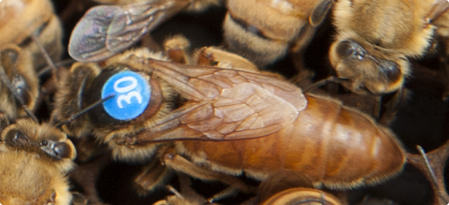 Queen bees can be tagged for easy identification