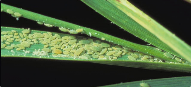 Russian Wheat Aphid wheat infestation