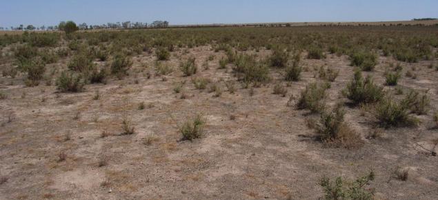 bluebush regrowth in a saline paddock