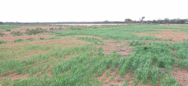 Salt-affected crop is often very patchy as growth is limited by salt in the ground