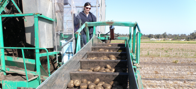 Harvesting potatoes showing the tubers on the elevator