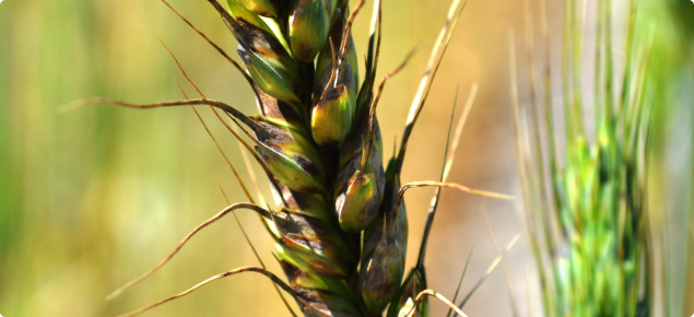 Septoria nodorum blotch infected a wheat head is known as Glume Blotch