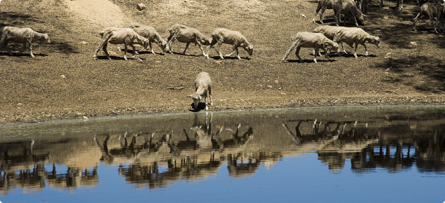 sheep drinking from a dam