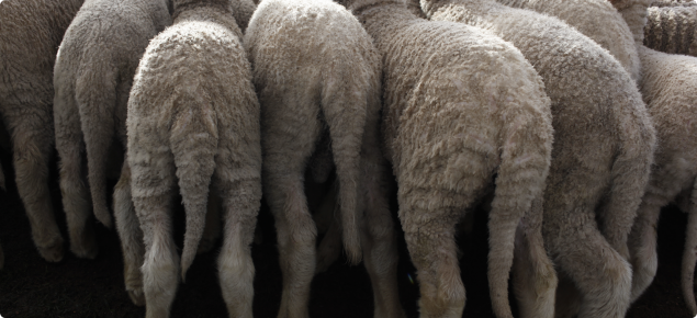 Best practice marking of lambs | Agriculture and Food