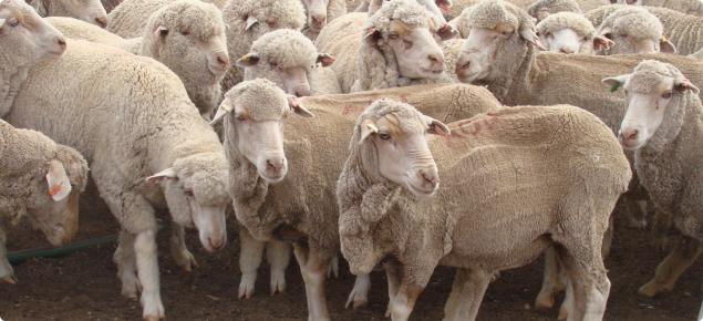 Mixed load of correctly tagged sheep with various year of birth tags and pink tags in their ears
