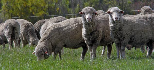 Sheep grazing in open field