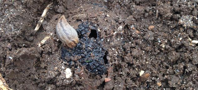 a striped slug eating truffle