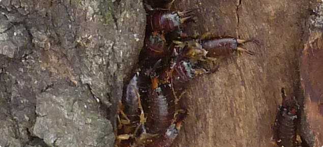 European earwigs sheltering under bark of trees bordering a cropping paddock