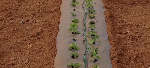 Soil moisture monitoring in Carnarvon capsicum crop.