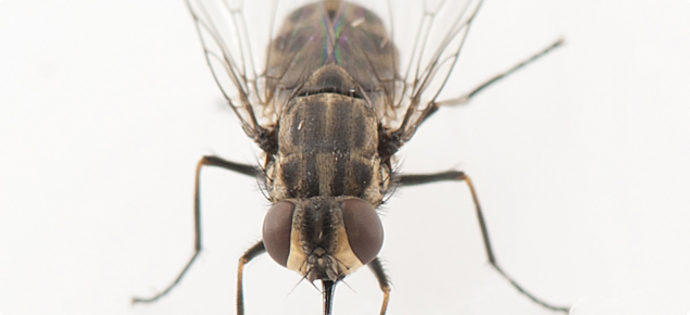 View of a stable fly taken under a microscope