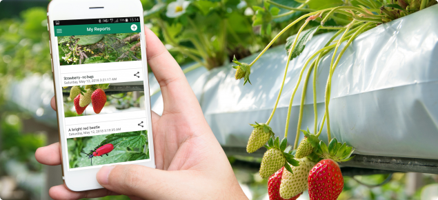 MyPestGuide™ Reporter in strawberry glasshouse