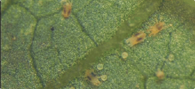 Two spotted mite on a banana leaf in the ORIA