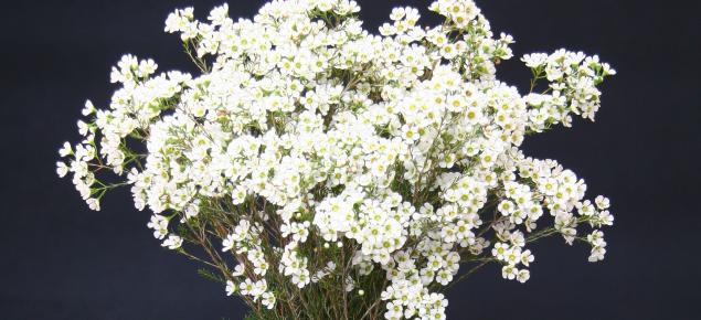 White hybrid waxflower