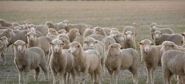 weaner sheep