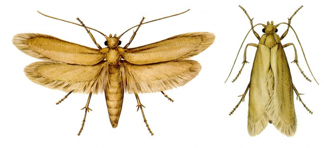 Clothes moth adults