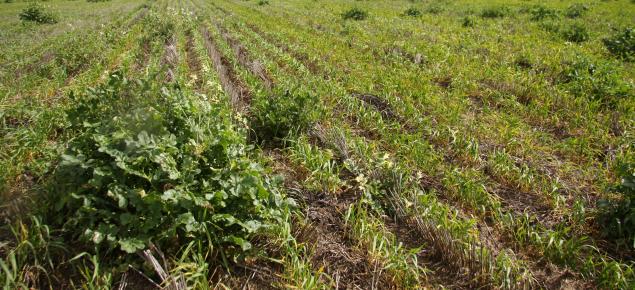 Wild radish in crop