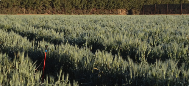 Wheat growing at Gascoyne