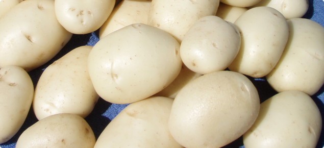 Washed tubers of White Star showing smooth cream skin