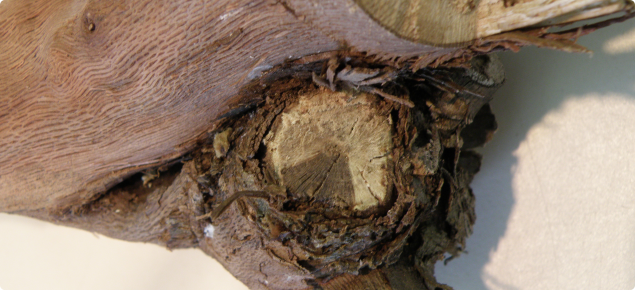 Grape arm showing characteristic wedge shaped lesions of dead tissue which become obvious when shoots or arms are viewed in transect at pruning