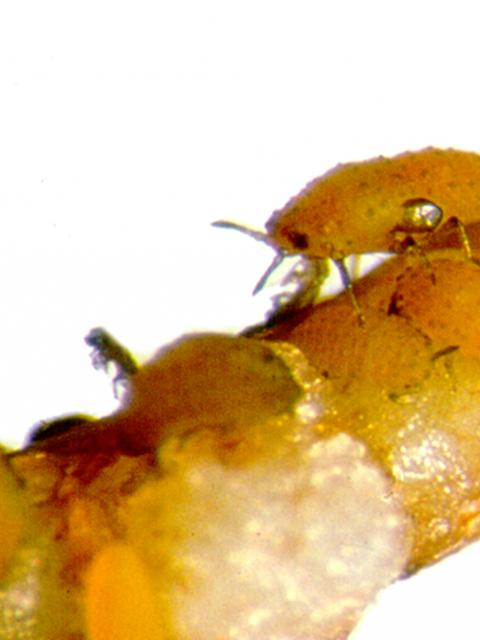 Grape phylloxera feeding on a grape root