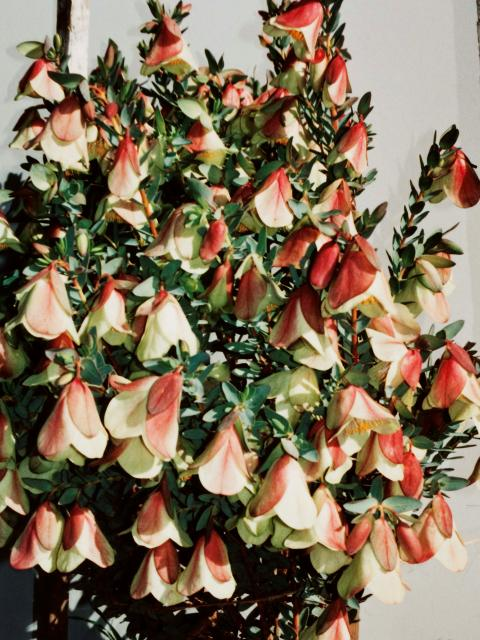 Qualup bells are an attractive cut flower