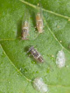 Tomato potato psyllid nymph and adults on a leaf. Nymph cases also pictured.
