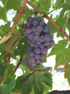 Kadarka wine grapes with botrytis infection
