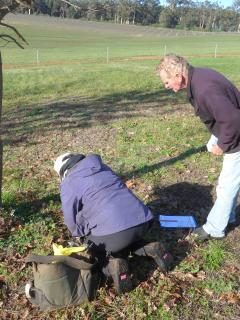 Examining truffles for fauna and damage