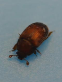 The 'western truffle beetle' adult stage is approximately 3 mm long