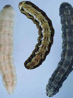 The 3 species of cutworm caterpillars.