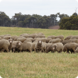sheep grazing pasture